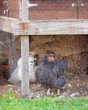Chickens In A Backyard Hen House. Chickens in a backyard coop kept to provide the family with fresh eggs stock images