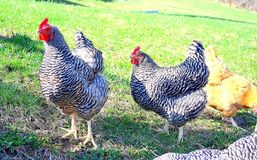 Poultry fowls in the barnyard. Poultry, hens, barred rock and buff orpington Stock Photography