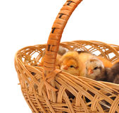 Chickens in a basket. Chickens who are in a basket Stock Photo