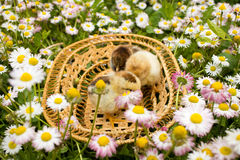 Chickens in a basket Stock Photos
