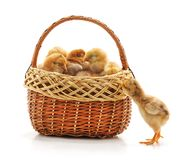 Chickens in the basket. On a white background royalty free stock images