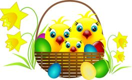 Chickens in basket. Easter chicken in basket with eggs and daffodil Stock Photos