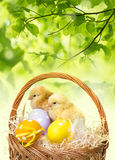 Chickens. A basket with easter eggs and chickens Stock Images