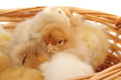 Chickens in the basket. On a white background royalty free stock image
