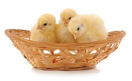 Chickens in a basket. On a white background royalty free stock image