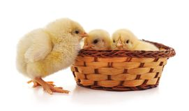Chickens in the basket. On a white background stock photos