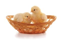 Chickens in the basket. On a white background stock image