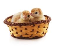 Chickens in a basket stock photography