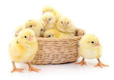 Chickens in basket. Royalty Free Stock Photography