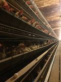 Chickens birds cages farming livestock poultry Royalty Free Stock Photos