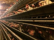 Chickens birds cages farming livestock poultry edges Stock Images