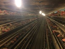 Chickens birds cages farming livestock poultry edges Royalty Free Stock Images