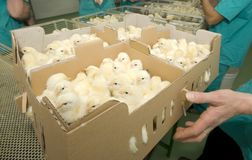 Chickens in the boxes Stock Images