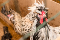 Chickens breed Crevecoeur Creve-coeur Royalty Free Stock Photography