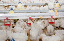 Chickens broilers in a poultry farm Stock Image