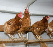 Chickens in a brooder house Stock Photo