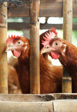 Chickens in a cage Royalty Free Stock Photography