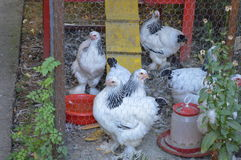 Chickens in the cage. Decorative chickens in a cage royalty free stock images