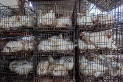 Chickens Cages Abattoir. Chickens in cages for culling process at poultry abattoir Stock Photos
