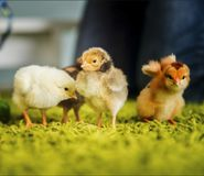 Chickens on the carpet grass. Four small cute chickens standing on the carpet grass and wings Stock Image