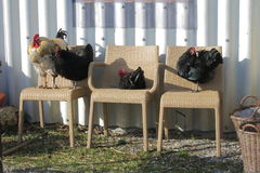 Chickens on chairs Stock Photos