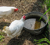 Chickens. Chicken is most common poultry in farms and in home backyards. Hens lay eggs and give a delicious kneading, but bright and beautiful plumage royalty free stock photo