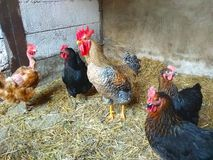 Chickens. Rooster, poultry, eggs, animals, bird, farm stock photos
