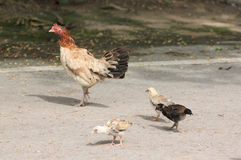 Chickens and chicks were walking. Chickens and chicks were walking in search of food royalty free stock photo