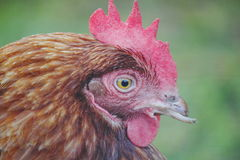Chickens Clipped Beak Royalty Free Stock Photos