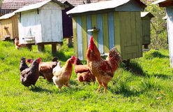 Chickens and cock Royalty Free Stock Photos