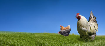 Chickens and on the green meadow royalty free stock photos