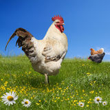 Chickens and on the green meadow royalty free stock photography