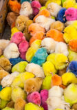 Chickens colors Royalty Free Stock Photo