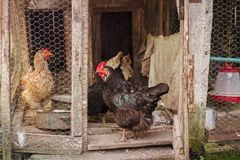 Chickens in the cottage in the yard. Close view royalty free stock photography