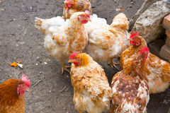 Chickens in country yard Royalty Free Stock Images