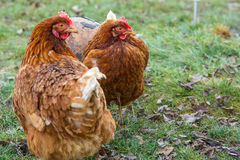 Chickens in country yard Stock Images
