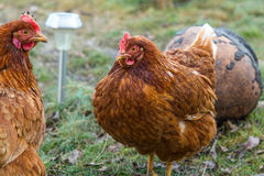 Chickens in country yard Royalty Free Stock Photography
