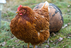 Chickens in country yard Royalty Free Stock Image