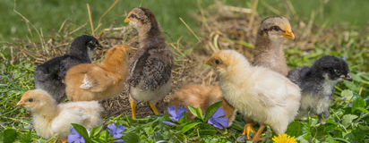 Chickens. Cute chickens in the garden Stock Photos