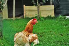 Chickens. Domestic chickens in natural way of breeding stock image