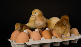Chickens Pecking Around on a Dozen Eggs in Carton Stock Images