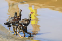 Chickens drinking water from the river Royalty Free Stock Images