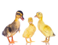 Chickens and ducklings. Stock Photography