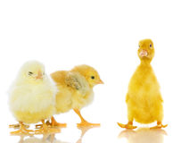 Chickens and ducklings. Royalty Free Stock Photo
