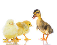 Chickens and ducklings. Royalty Free Stock Photos
