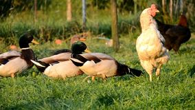 Chickens and ducks on the farm stock footage