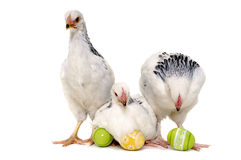 Chickens and easter eggs. Chickens with easter eggs. Isolated on a white background Stock Photo