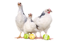 Chickens and easter eggs. Chickens with easter eggs. Isolated on a white background Royalty Free Stock Photos