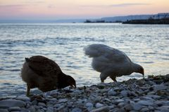 Chickens are eating on the beach. A photo of two chickens eating on the beach at sunset royalty free stock photos