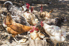 Chickens Eating bread Royalty Free Stock Photos